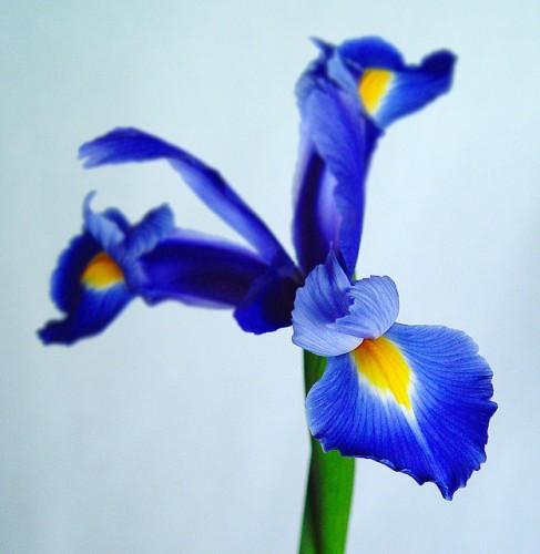 caracteristicas de las flores