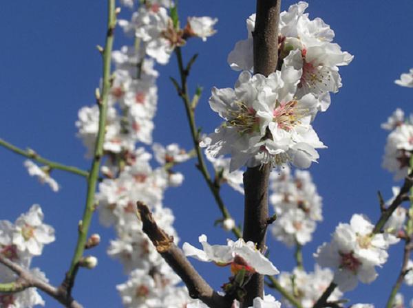 Cerezos en flor, el espectáculo natural de marzo